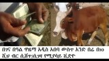 Ethiopia – The process of buying an OX for Genna