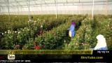 Kenya's Flower Farmers Could Relocate to either Ethiopia or Tanzania on KonjoTube